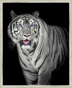 Obraz v rámu TIGER – 43×53 cm