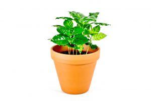 Coffea arabica, průměr 6-7 cm – ZACHRAŇ KYTKU