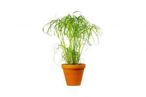 Cyperus Papyrus Percamentus, průměr 15 cm – ZACHRAŇ KYTKU