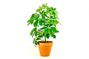 Schefflera Arboricola, průměr 13 cm – ZACHRAŇ KYTKU