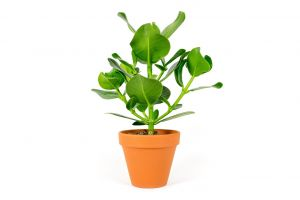 Clusia rosea, průměr 12 cm – ZACHRAŇ KYTKU