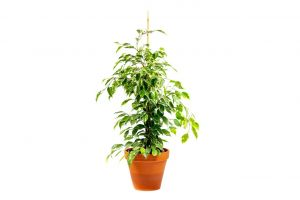 Ficus benj. Danielle MIX, průměr 17 cm – ZACHRAŇ KYTKU