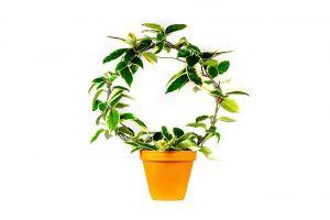 Hoya carnosa tricolor kruh, průměr 12 cm – ZACHRAŇ KYTKU