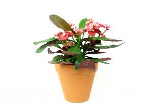 Euphorbia milii, průměr 11 cm – ZACHRAŇ KYTKU